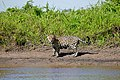 Jaguar (Panthera onca) male on the river bank ... (My first pic of a wild one) (28875074900).jpg