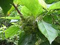 Japanese White-eye nest.jpg