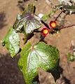 Jatropha gossypifolia.jpg