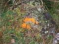 Jelly Antler Fungus (Calocera viscosa) - geograph.org.uk - 607157.jpg