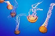 Méduses à laquarium de Monterey