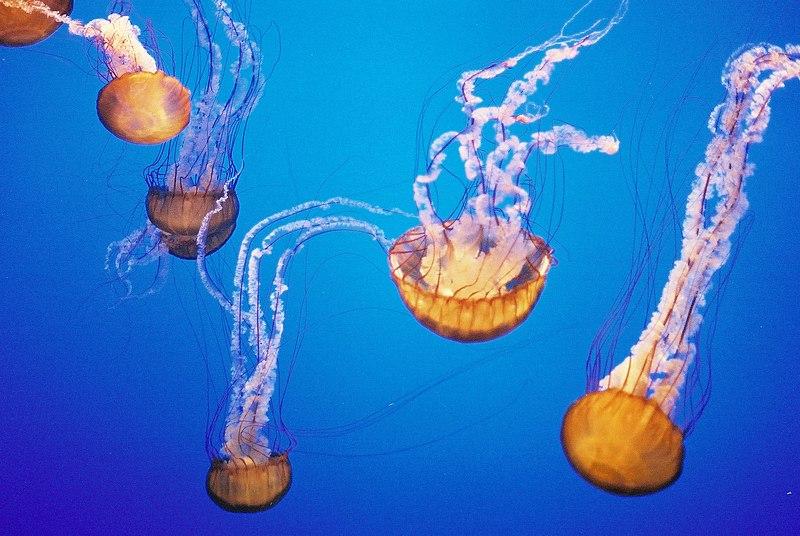 Fichier:Jellyfish in the Montery Bay Aquarium.jpg