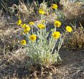 Joshua Tree National Park flowers - Baileya pleniradiata - 07.JPG