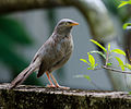 Jungle babbler18.jpg