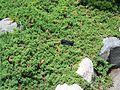 Juniperus procumbens nana MN 2007.JPG