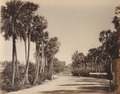 KITLV 92066 - Unknown - Palmyra palms on a road at Madras, India - Around 1870.tif
