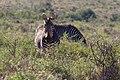 Karoo National Park 2014 23.jpg