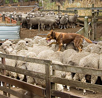 an Australian Kelpie walking across the backs of the sheep
