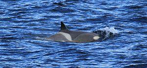Gerlache Strait - Image: Killer Whale in the Gerlache Strait, Antarctica (6086430485)
