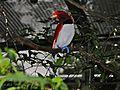 King Bird-of paradise Cicinnurus regius (7116209033).jpg