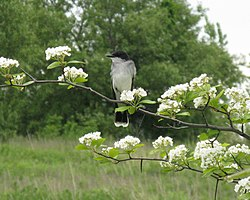 Kingbird in Crataegus.jpg
