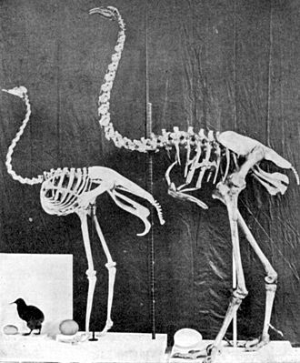 Moa - A comparison of a kiwi (left), ostrich (center), and Dinornis (right), each with its egg.