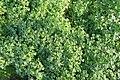 Kluse - Oxalis tuberosa 13 ies.jpg