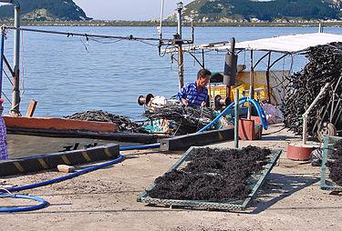 Сушка собранных водорослей на ферме в Южной Корее