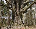 Kroezeboom (grensboom). Beuk (Fagus sylvatica). Locatie, Kroondomein 03.jpg