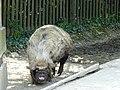 Kunekune-Schwein Herberstein 02.jpg