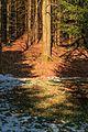 Kvetoucí sněženky v PP Sněženky ve Vysokém lese 20.jpg
