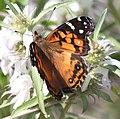 LADY, AMERICAN (Vanessa virginiensis) (8-10-2015) harshaw rd, santa cruz co, az -01 (20279319590).jpg