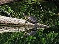 LSG Baggersee Juelich-Kirchberg mit Ruruferbereich Rotwangen-Schmuckschildkröte (Trachemys scripta elegans) 7 DE-NW.JPG