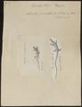 Lacerta punctata - 1700-1880 - Print - Iconographia Zoologica - Special Collections University of Amsterdam - UBA01 IZ12600005.tif