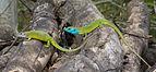 Lacerta viridis - couple 02.JPG