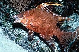 Lachnolaimus maximus juvenile