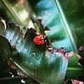 Ladybird - Zevenstippelig lieveheersbeestje (Coccinella septempunctata) JIHI.jpg