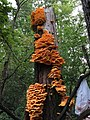 Laetiporus sulphureus pillar.jpg