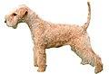 Lakeland Terrier Fond Blanc.jpg