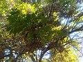 Lamiales - Fraxinus latifolia 4.jpg