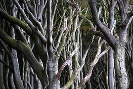 Landschaftsschutzgebiet Kühlung - Nienhäger Holz (Gespensterwald) (28).JPG