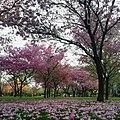 Lapachos rosados en Parque Urquiza, Rosario.jpg