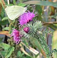 Large White Butterfly along the River Sence - geograph.org.uk - 925924.jpg