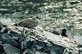 Larus dominicanus (js) 06.jpg