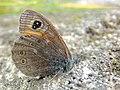 Lasiommata maera (35641022043).jpg