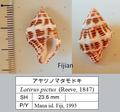 Latirus pictus Mana I. 1993.png