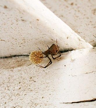 Latrodectus geometricus - A brown widow's egg sac