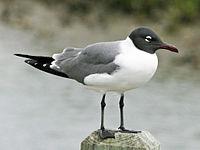 Laughing Gull (Leucophaeus atricilla) RWD1.jpg