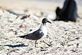 Laughing gull (32852040680).jpg