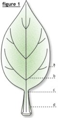 Leaf Diagram 1.png