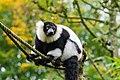 Lemur (24169247678).jpg