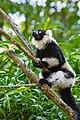 Lemur (36040379153).jpg