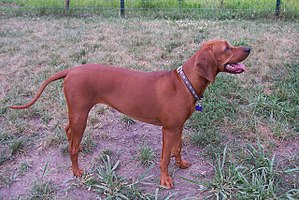 Redbone Coonhound - A female Redbone Coonhound