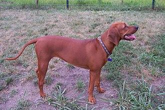 Redbone Coonhound - A female Redbone Coonhound
