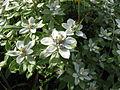 Leontopodium japonicum var. shiroumense 01.jpg