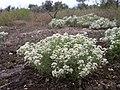 Lepidium papilliferum plant 5.jpg