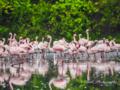 Lesser Flamingos.png