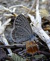 Lesser Grass Blue Zizina otis Pench TR by Dr. Raju Kasambe 428 (3).jpg