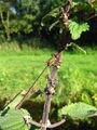 Lestes viridis 1 (2005 08 29).jpg