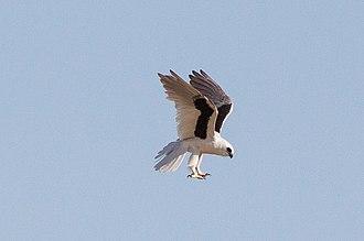 Elanus - Image: Letter winged Kite (Elanus scriptus)4